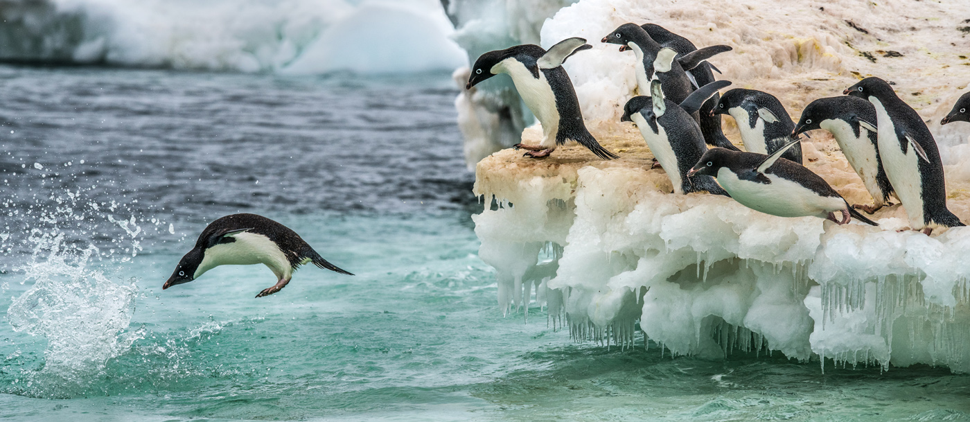 Adelie Penguin (Image ID 30613)