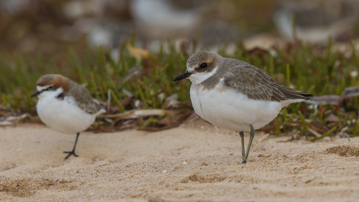 Greater Sand Plover, Red-capped Plover