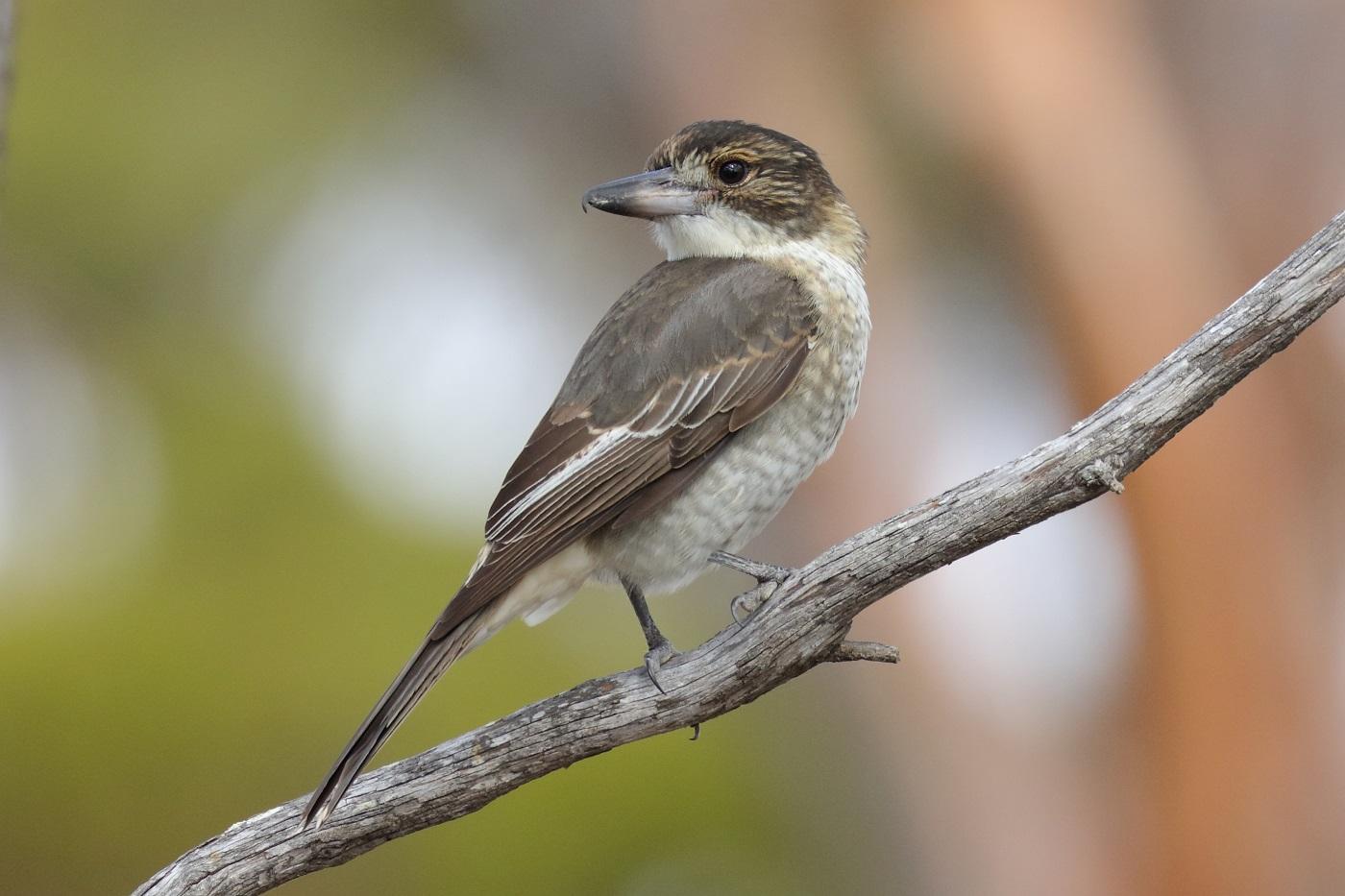Grey Butcherbird (Image ID 30459)