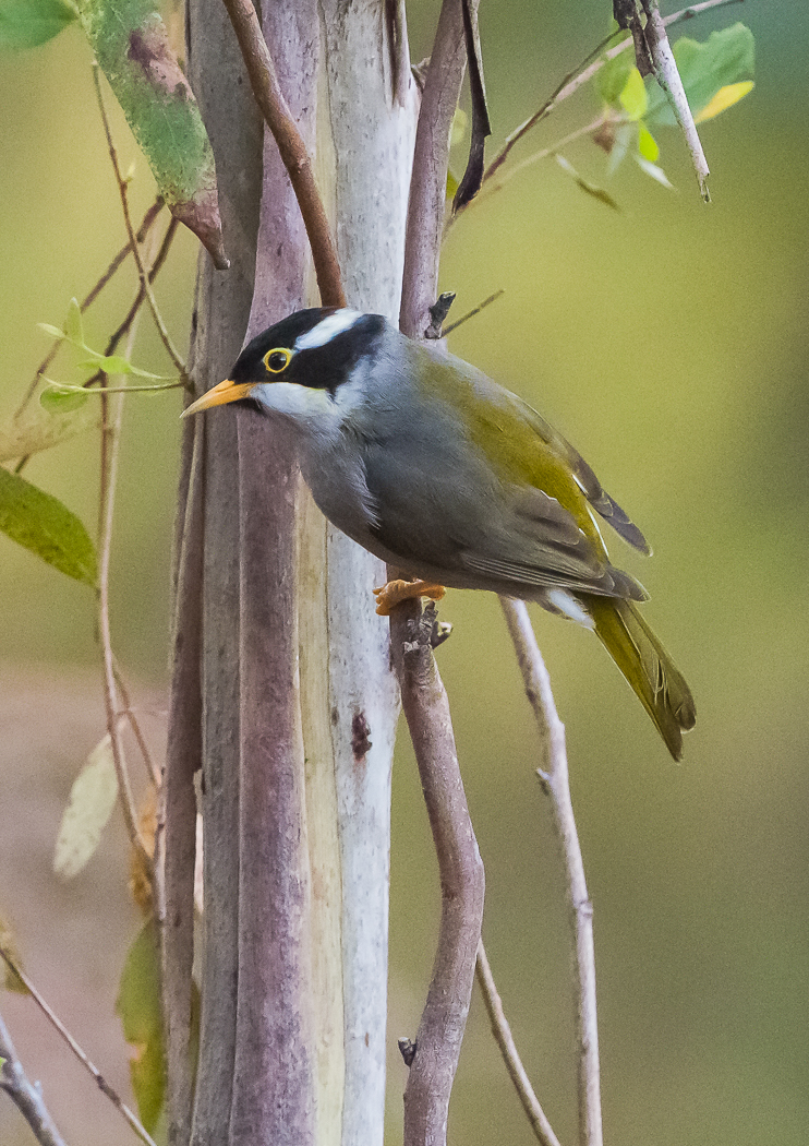 Strong-billed Honeyeater (Image ID 30573)