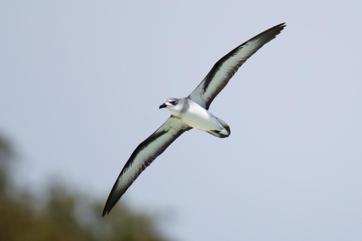 Black-winged Petrel (Image ID 30720)