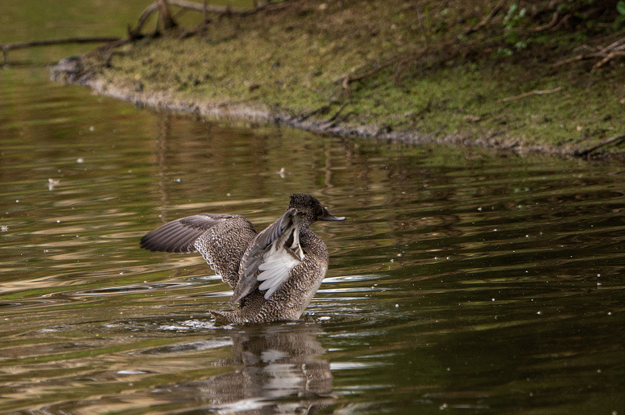 Freckled Duck (Image ID 30547)