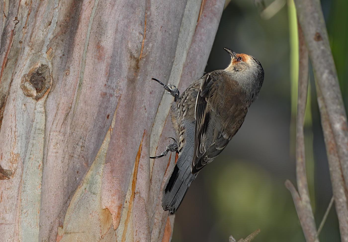 Red-browed Treecreeper