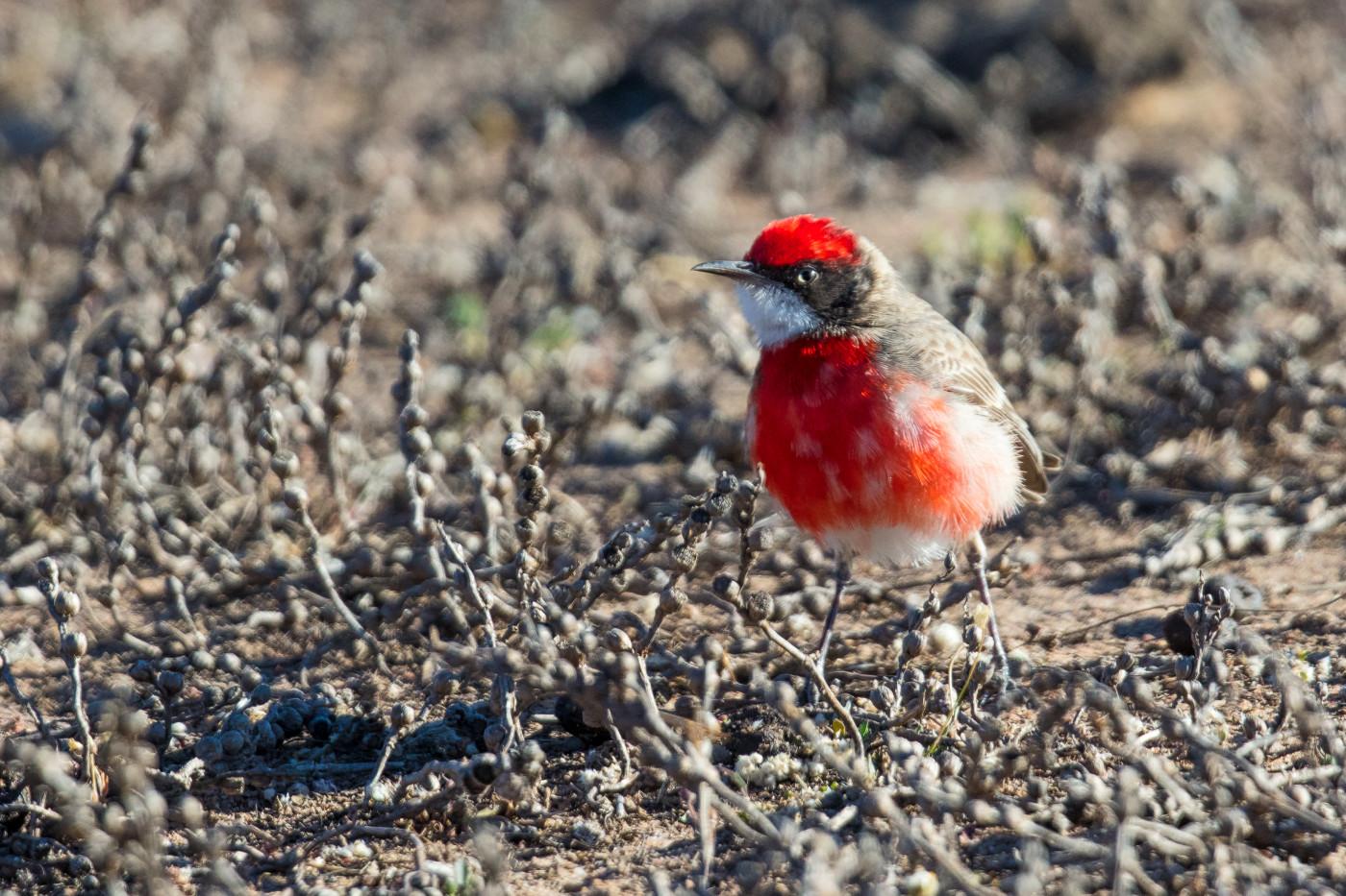 Crimson Chat (Image ID 30468)