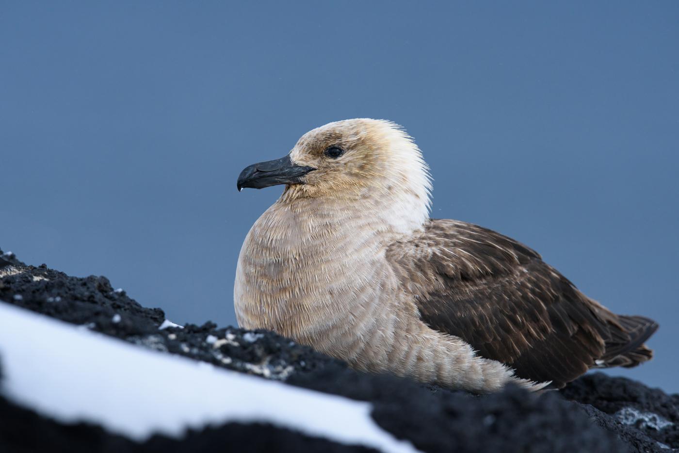 South Polar Skua (Image ID 30456)