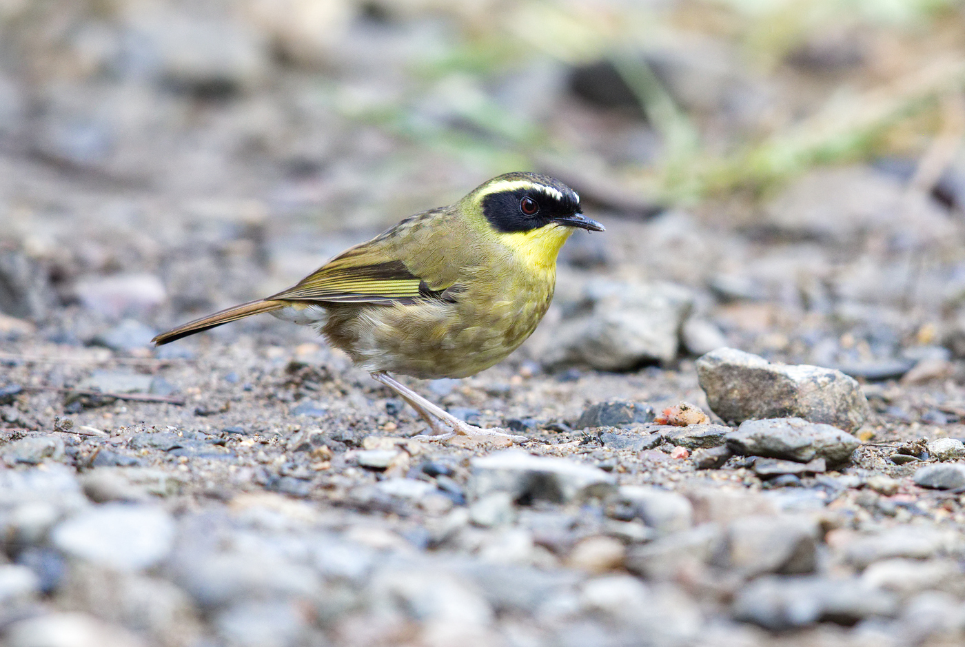 Yellow-throated Scrubwren (Image ID 30852)