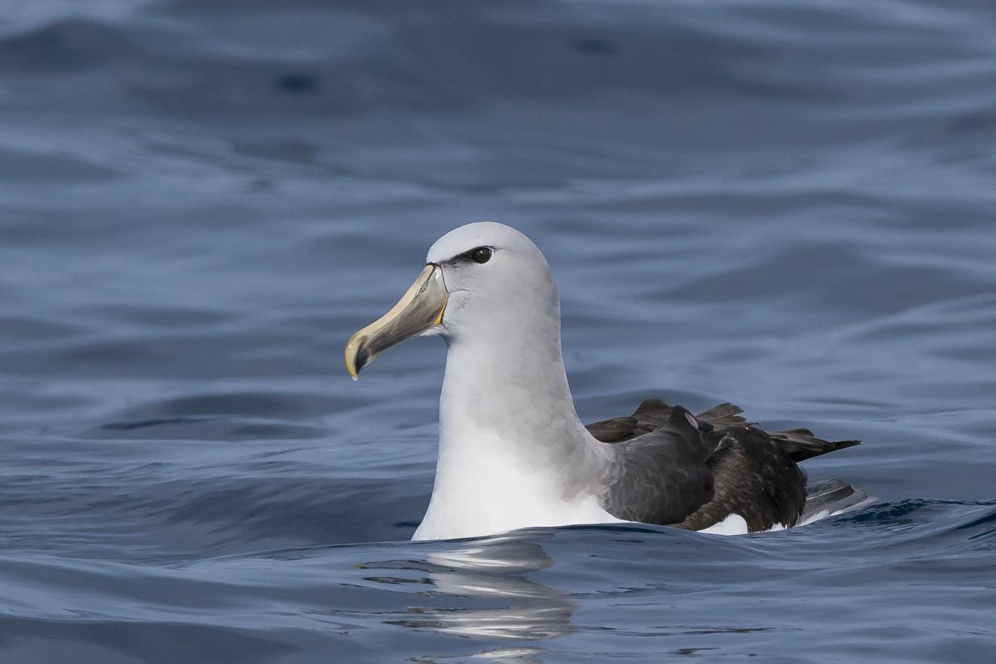 Salvin's Albatross (Image ID 30951)