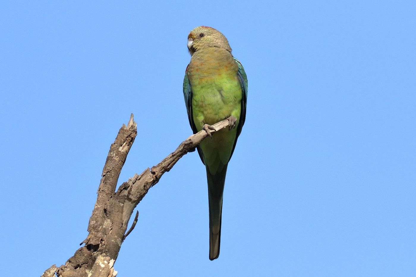 Mulga Parrot (Image ID 30999)