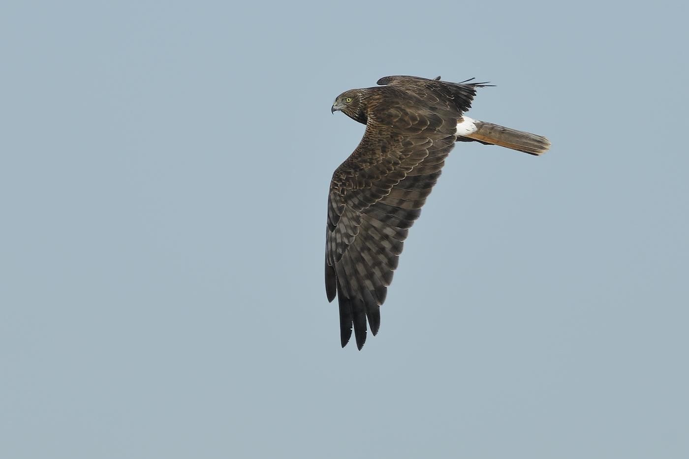 Swamp Harrier (Image ID 30817)