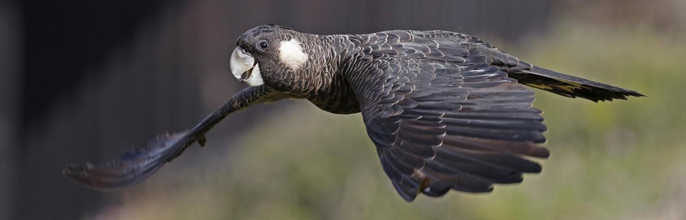 Carnaby's Black-Cockatoo (Image ID 31087)