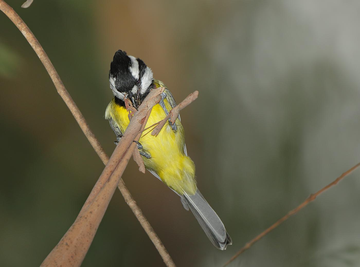 Crested Shrike-tit (Image ID 31129)