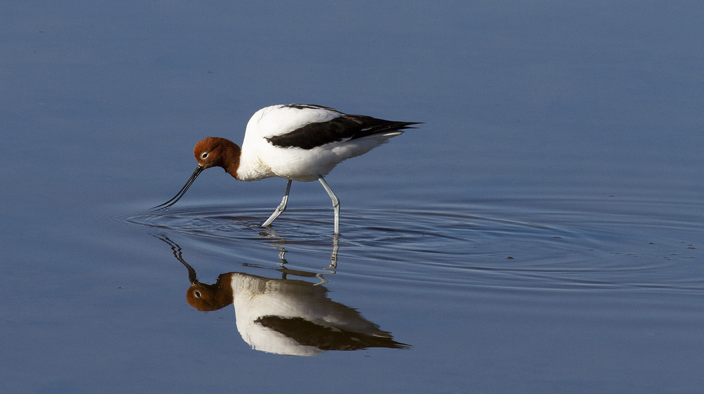 Red-necked Avocet (Image ID 31014)