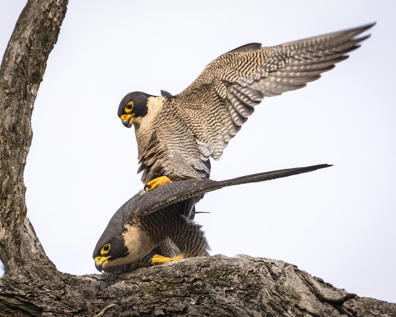 Peregrine Falcon (Image ID 31255)
