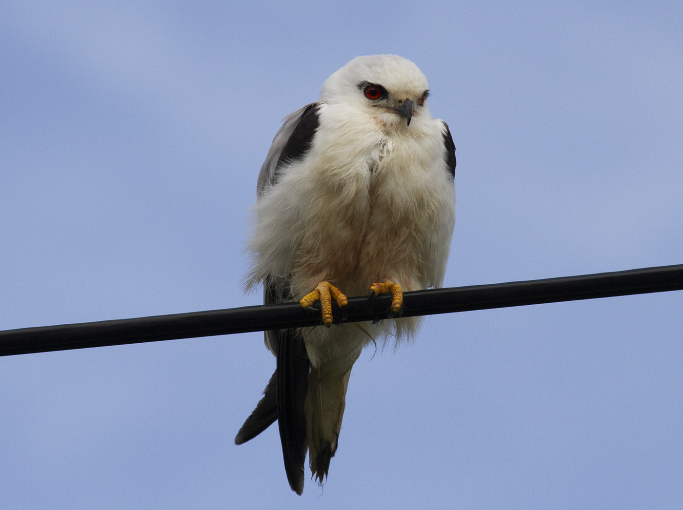 Black-shouldered Kite (Image ID 31223)