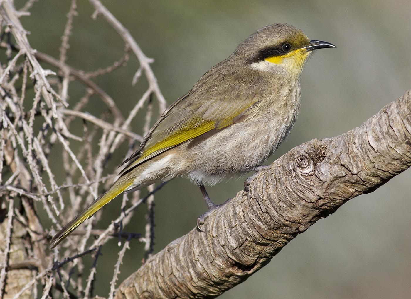 Singing Honeyeater (Image ID 31224)
