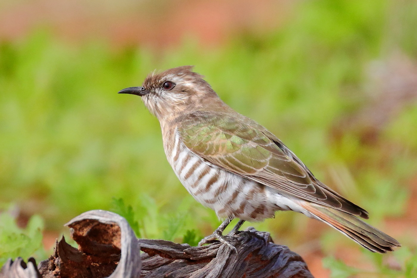 Horsfield's Bronze-Cuckoo (Image ID 31151)