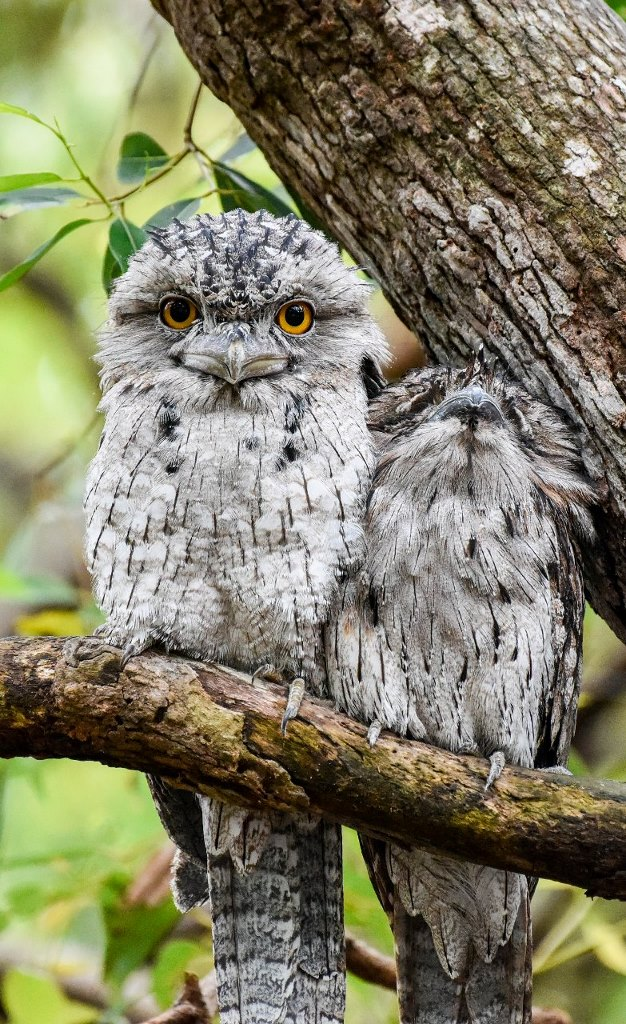 Tawny Frogmouth (Image ID 31190)