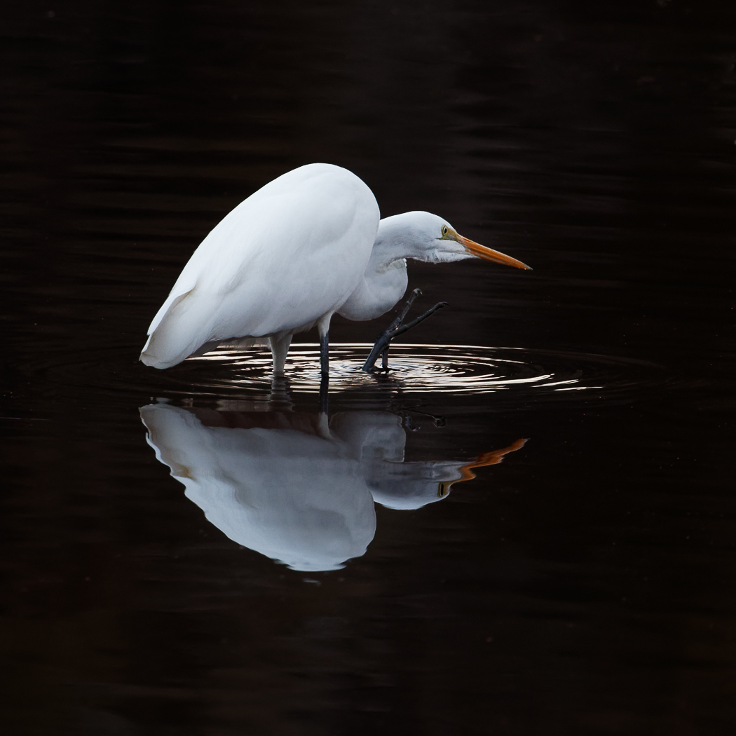 Great Egret (Image ID 31140)