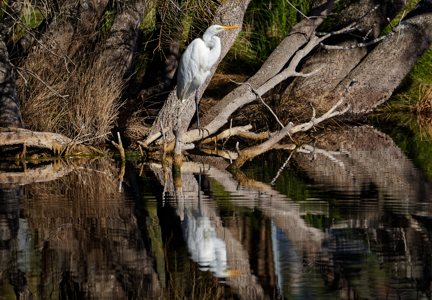 Great Egret (Image ID 31168)