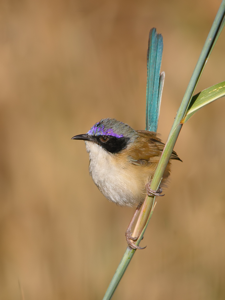 Purple-crowned Fairy-wren (Image ID 31243)