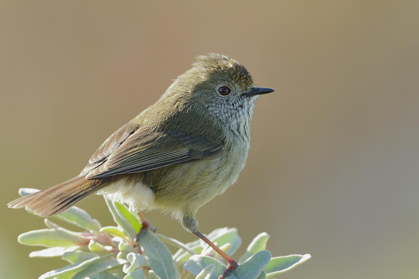 Brown Thornbill (Image ID 31107)