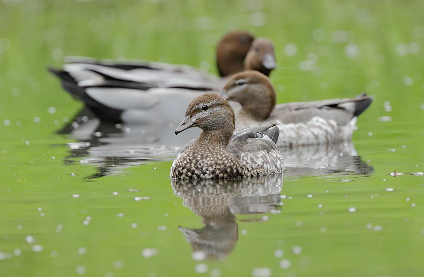 Australian Wood Duck (Image ID 31128)