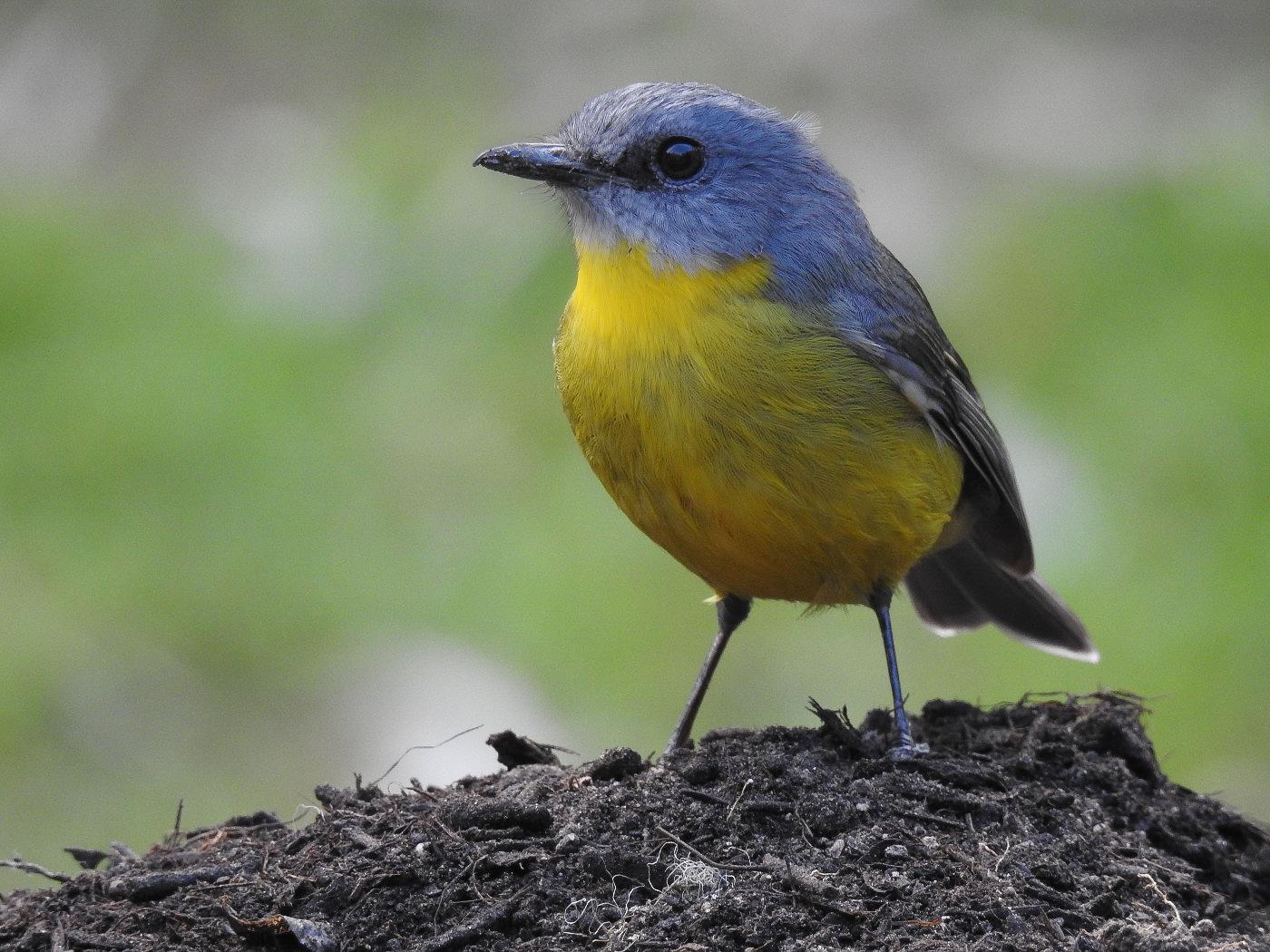 Eastern Yellow Robin (Image ID 31217)
