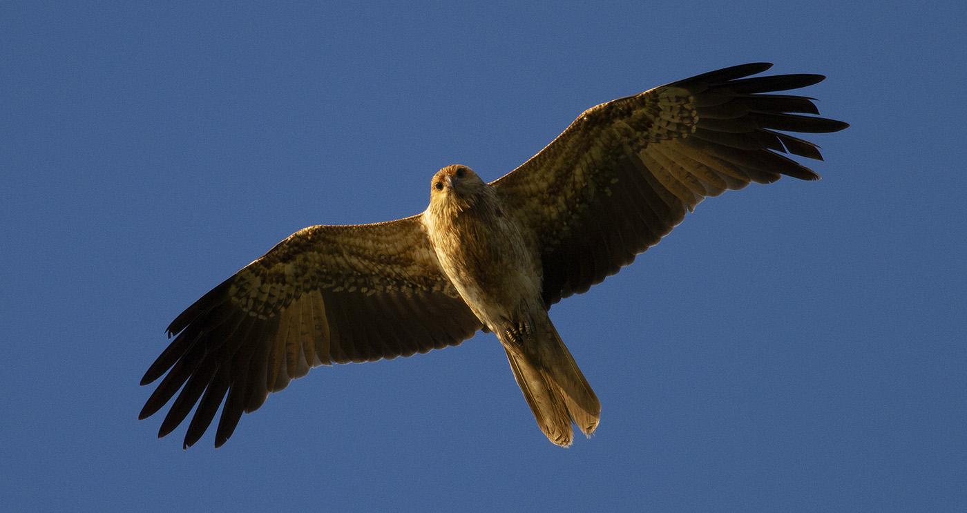 Whistling Kite (Image ID 31104)