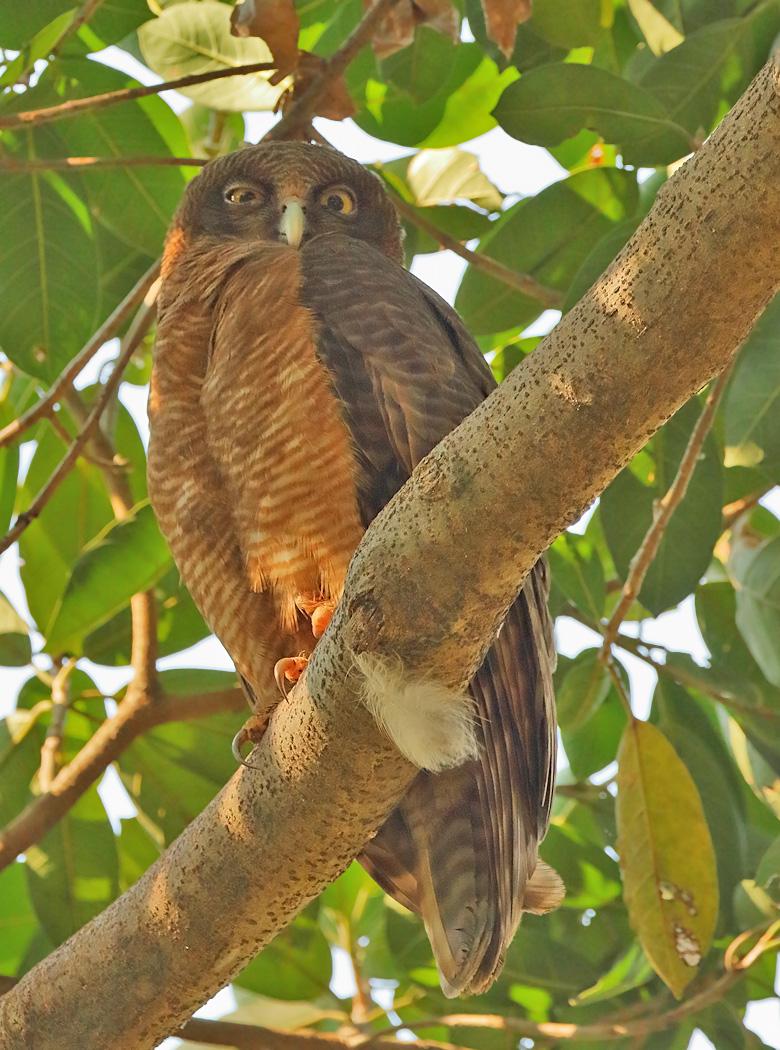 Rufous Owl (Image ID 31239)