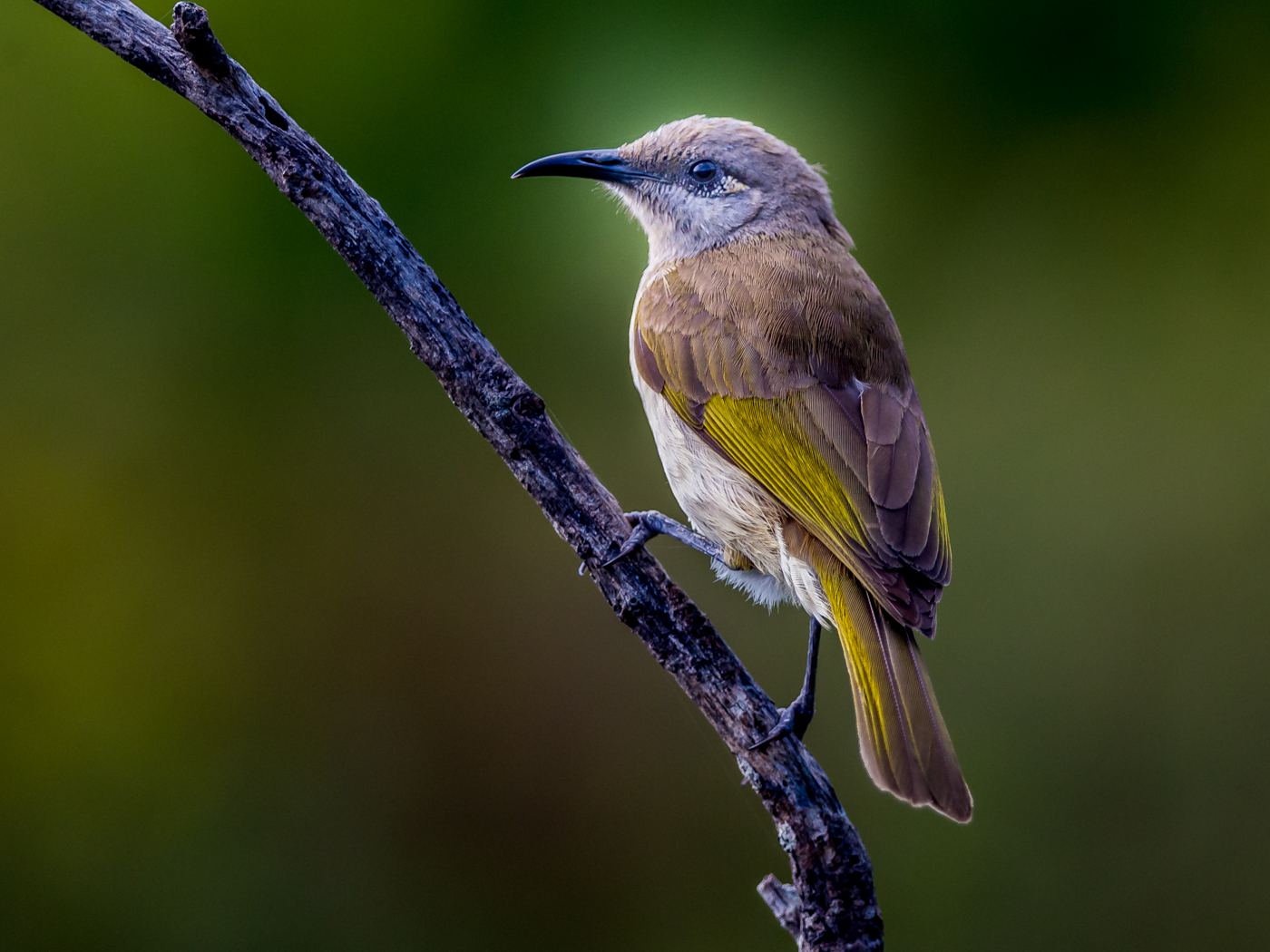 Brown Honeyeater (Image ID 31069)