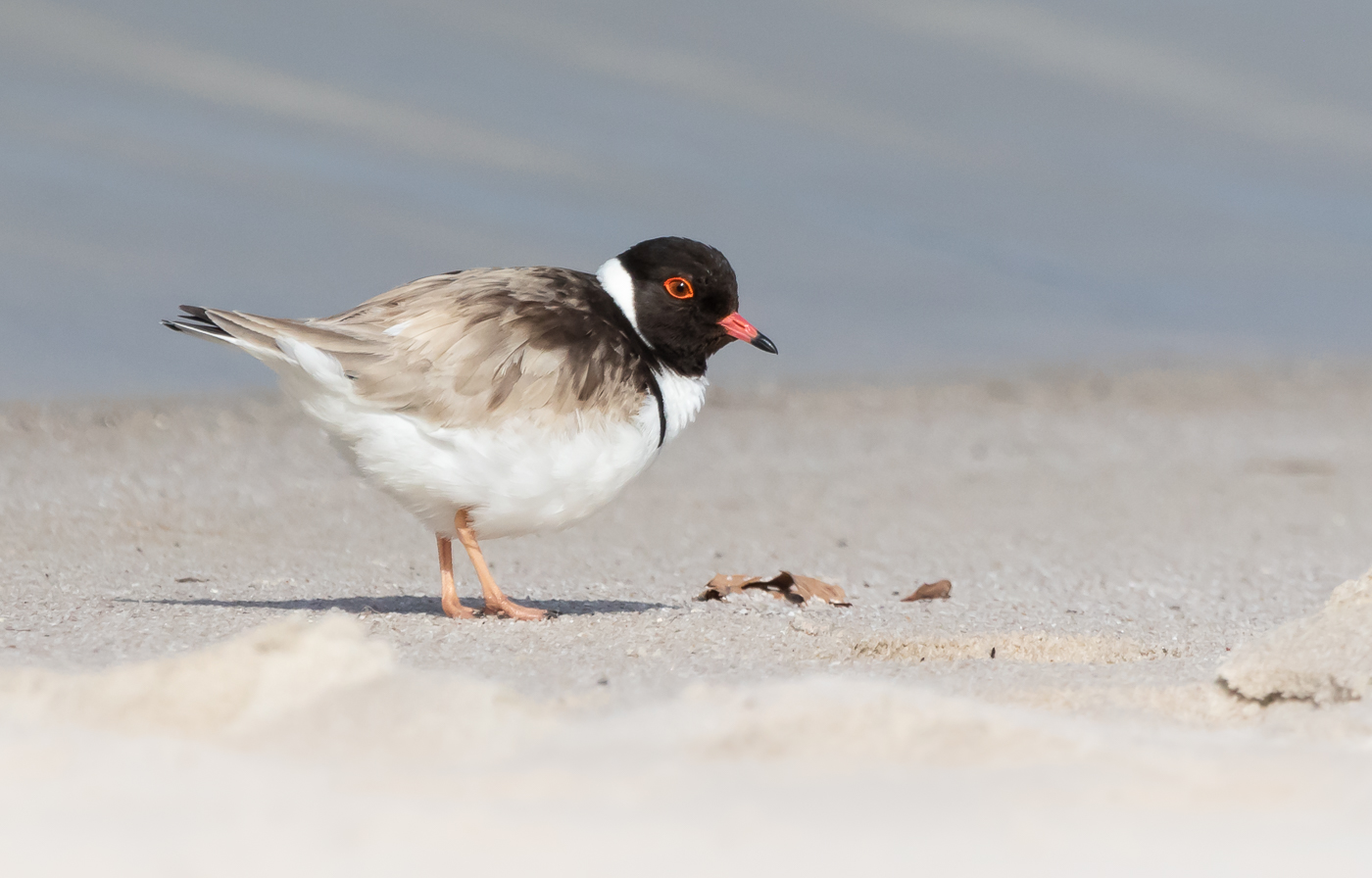 Hooded Plover (Image ID 31143)