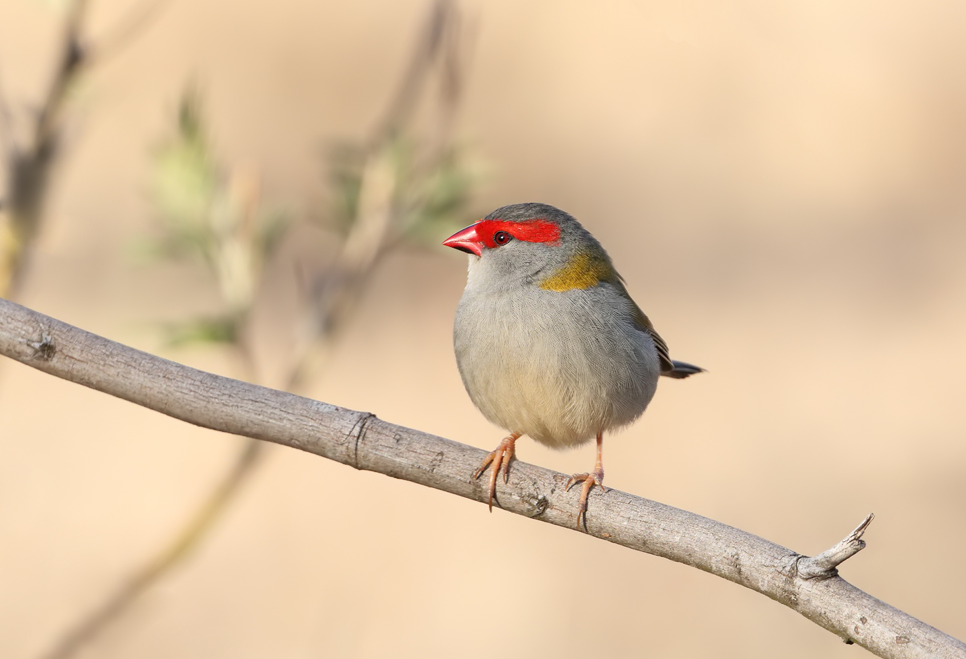 Red-browed Finch (Image ID 31028)