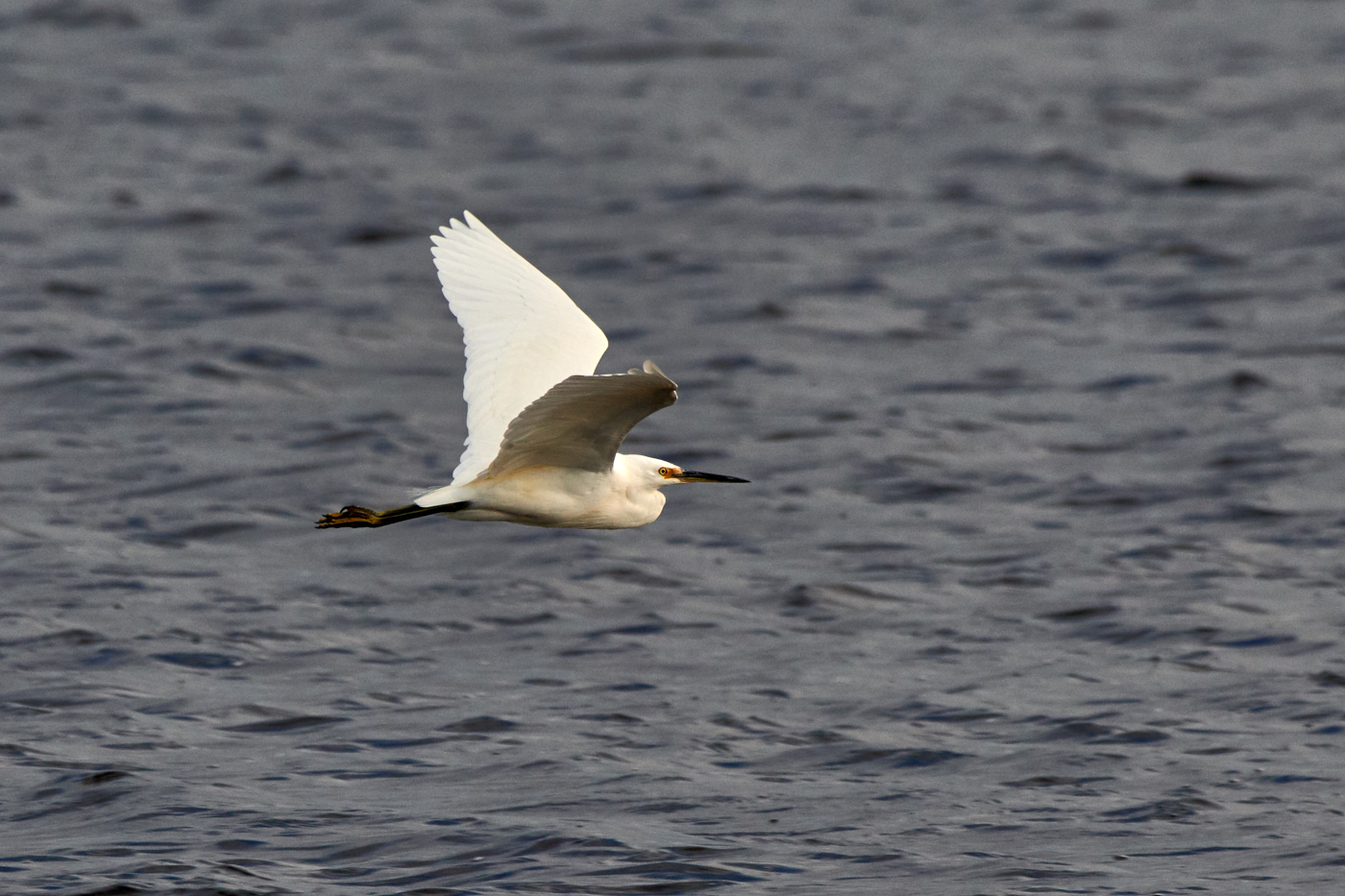 Little Egret (Image ID 31251)