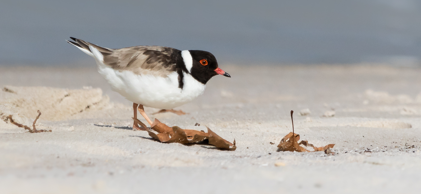 Hooded Plover (Image ID 31146)