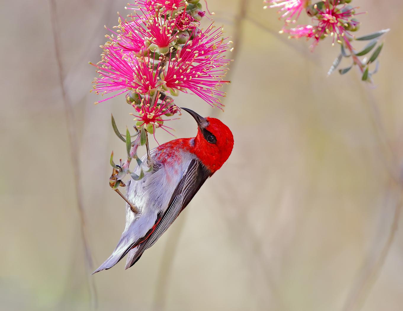 Scarlet Honeyeater (Image ID 31262)
