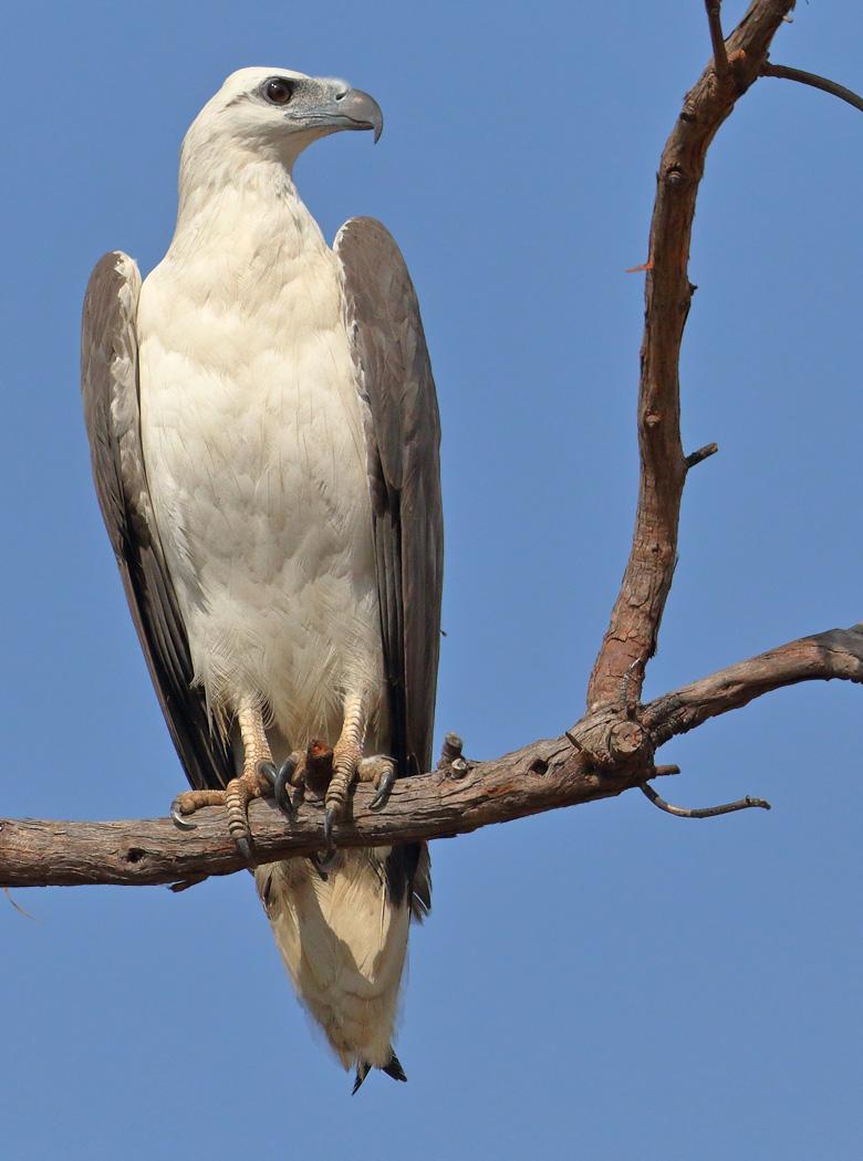 White-bellied Sea-Eagle (Image ID 31209)
