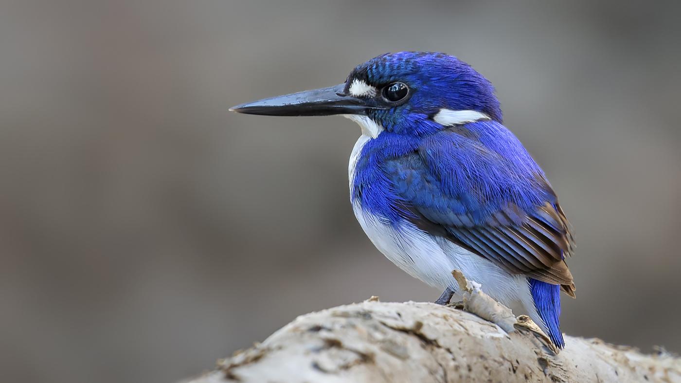 Little Kingfisher (Image ID 31246)