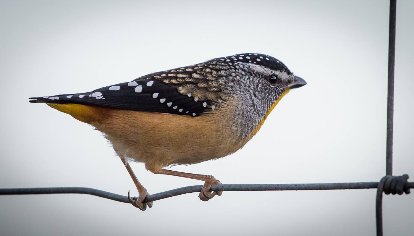 Spotted Pardalote (Image ID 31192)