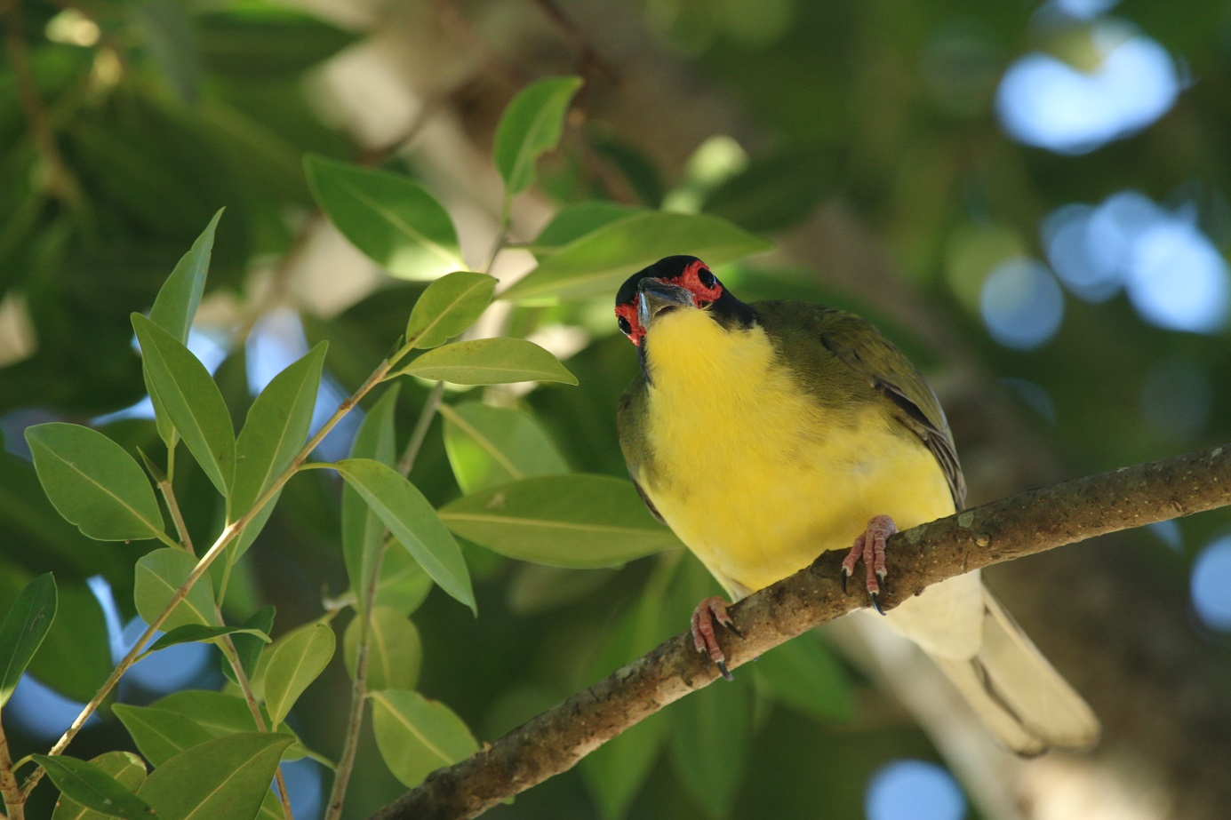 Australasian Figbird (Image ID 31096)