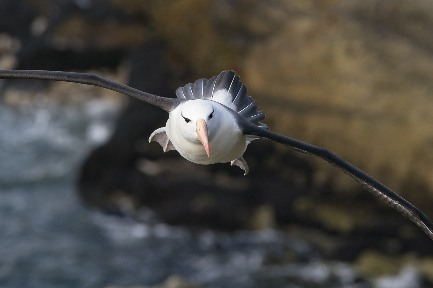 Black-browed Albatross (Image ID 31102)