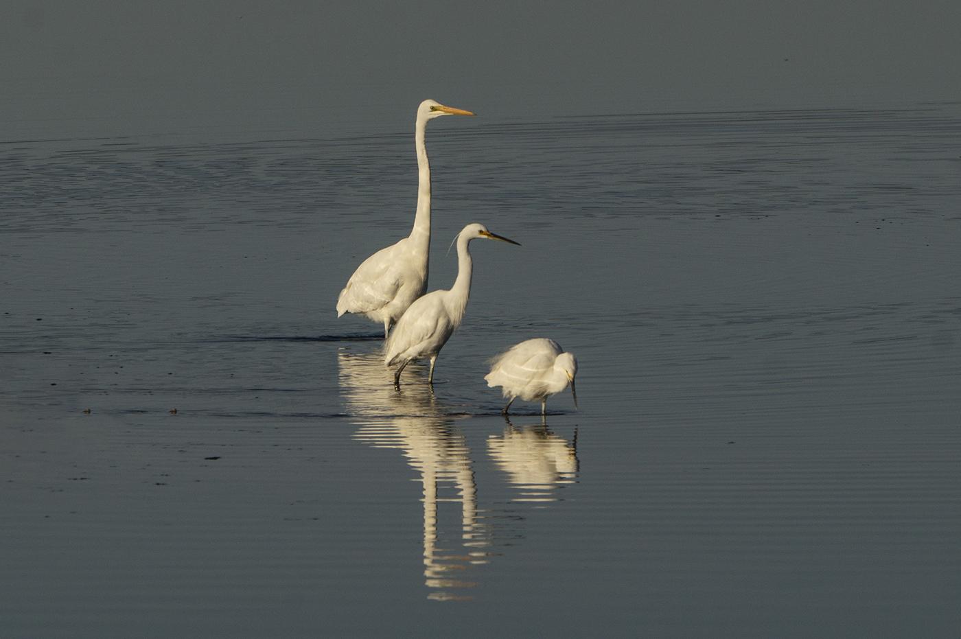 Great Egret, Little Egret (Image ID 31100)