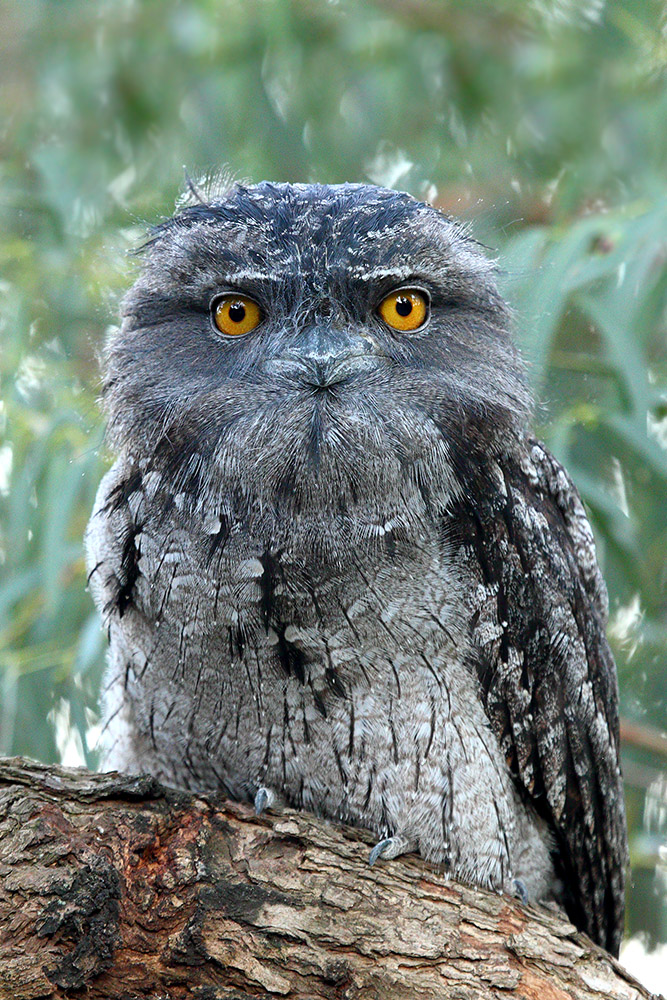 Tawny Frogmouth (Image ID 31167)