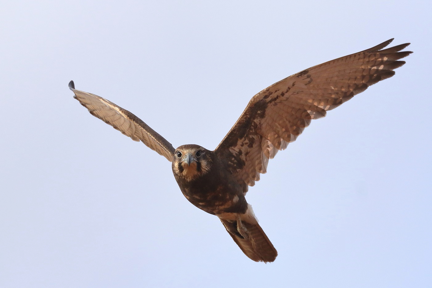Brown Falcon (Image ID 31204)