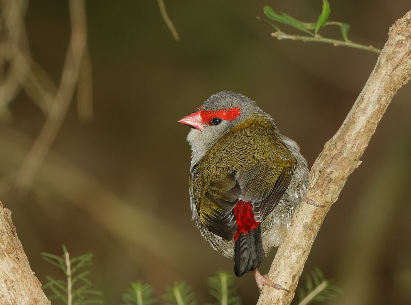 Red-browed Finch (Image ID 31131)