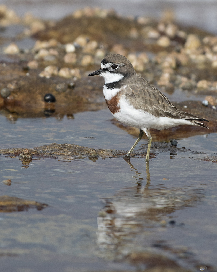 Double-banded Plover (Image ID 31154)