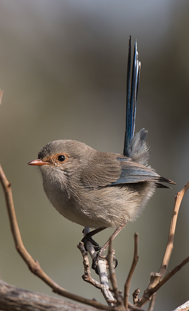 Splendid Fairy-wren (Image ID 31211)