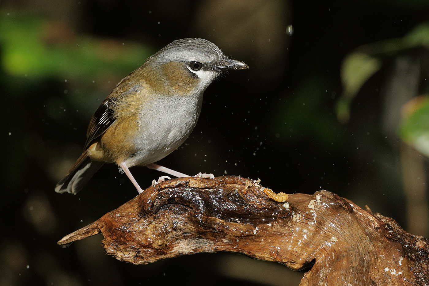 Grey-headed Robin (Image ID 31233)
