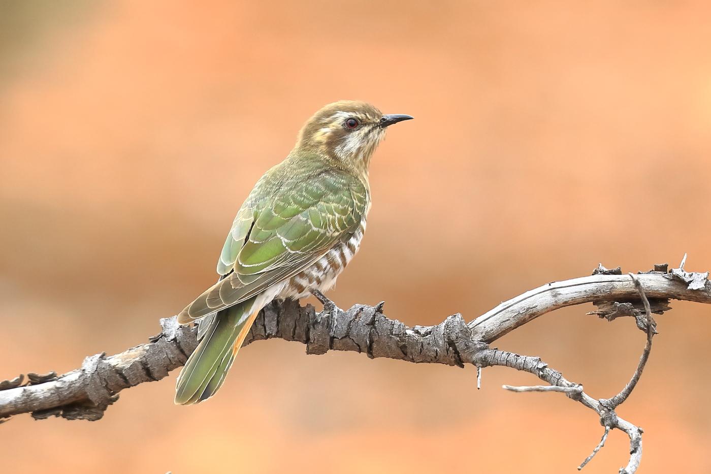 Horsfield's Bronze-Cuckoo (Image ID 31109)