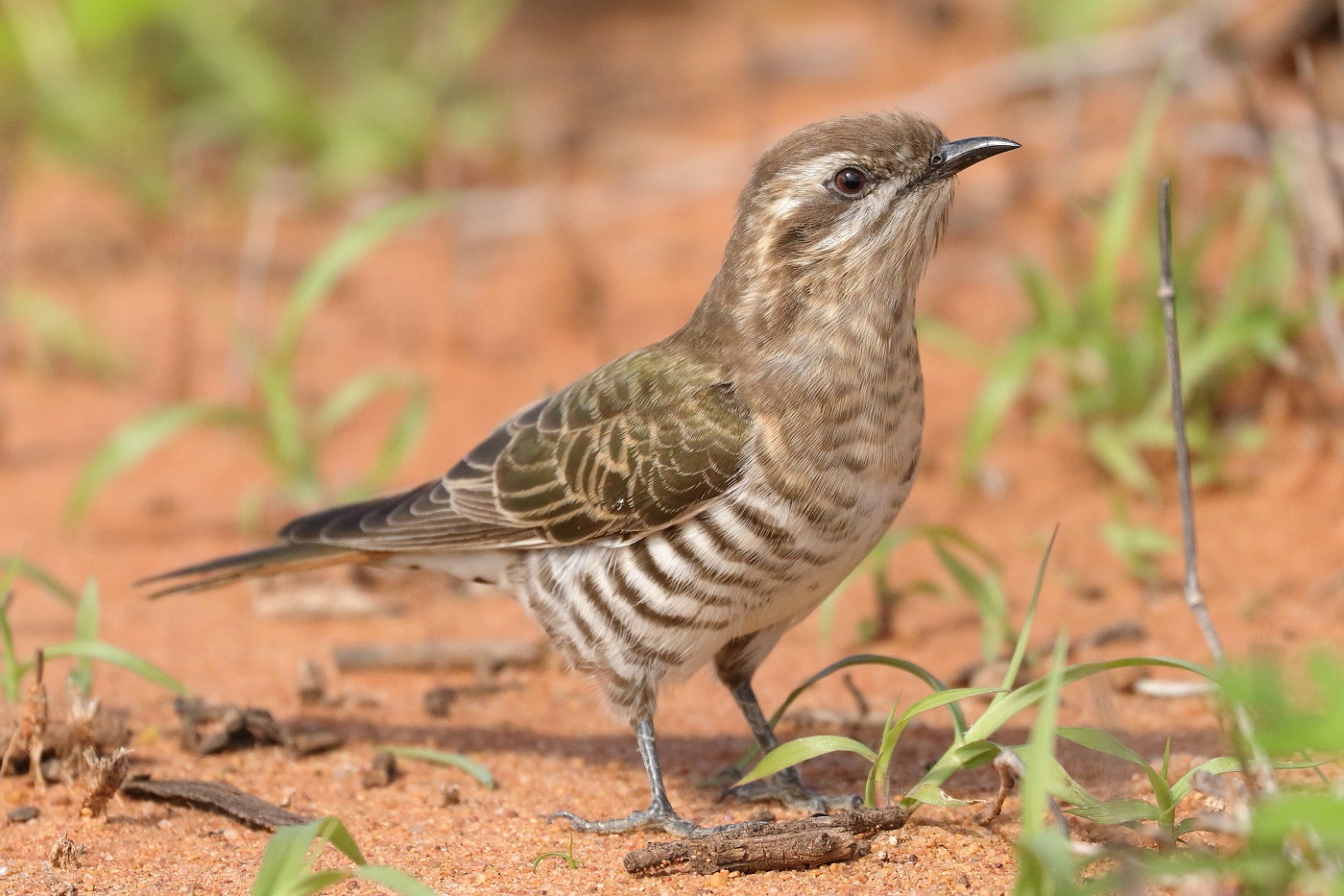 Horsfield's Bronze-Cuckoo (Image ID 31150)