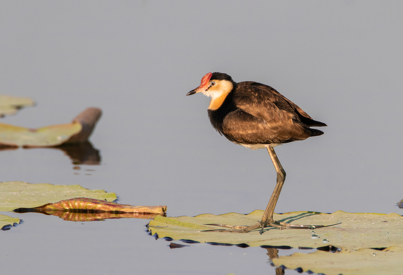 Comb-crested Jacana (Image ID 31665)